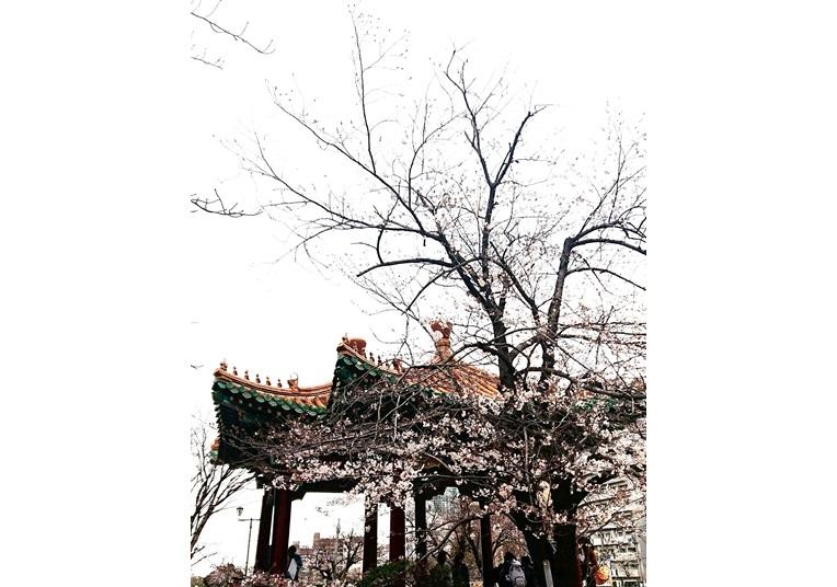 神戸市の桜は三分咲き
